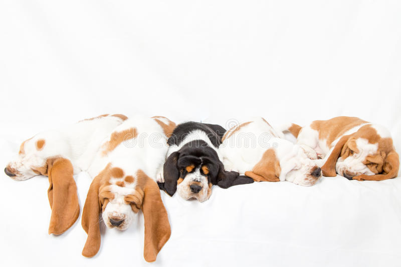 Basset hound dogpile. Litter of sleeping basset hound puppies. A black in the middle of the white ones royalty free stock photography