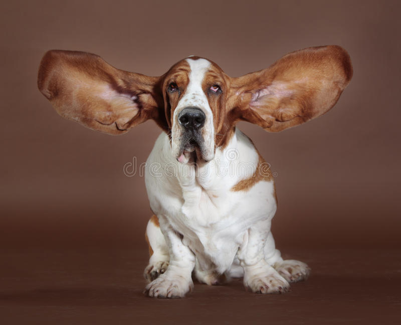 Basset hound ears stand royalty free stock photos