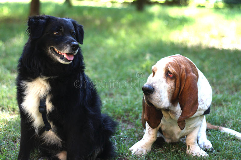 Download Basset hound and friend stock photo. Image of nose, black - 28073870