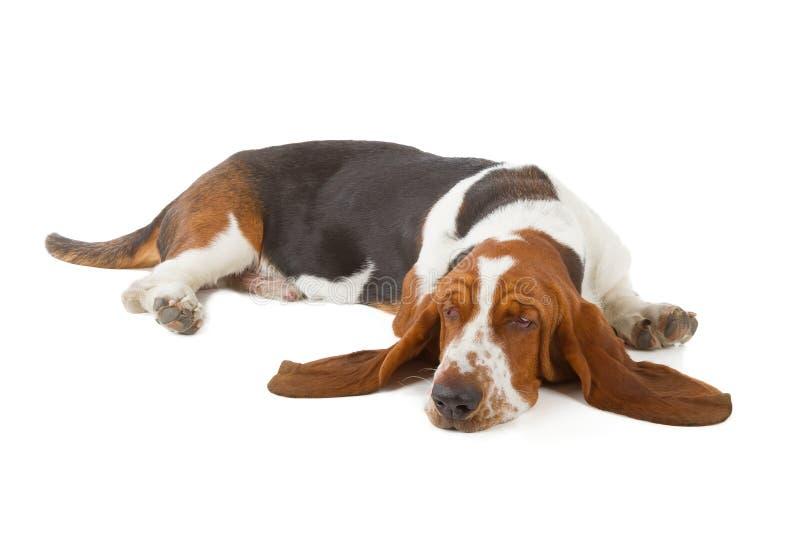 Basset Hound-hondslaap stock afbeeldingen