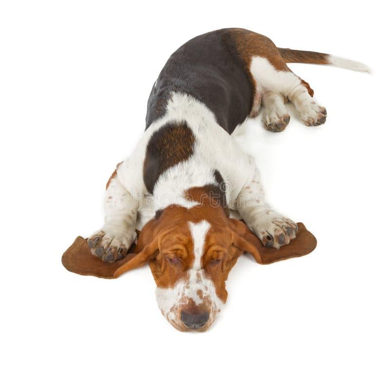 Basset Hound-hondslaap stock foto