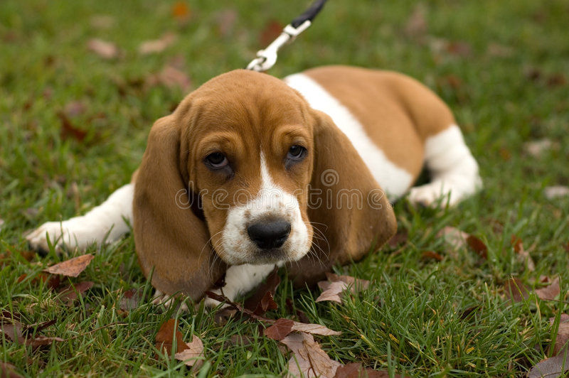 Basset Hound Laying in the grass royalty free stock photo