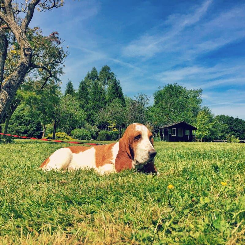 Basset Hound no campo britânico - cachorrinho do cão da grama foto de stock