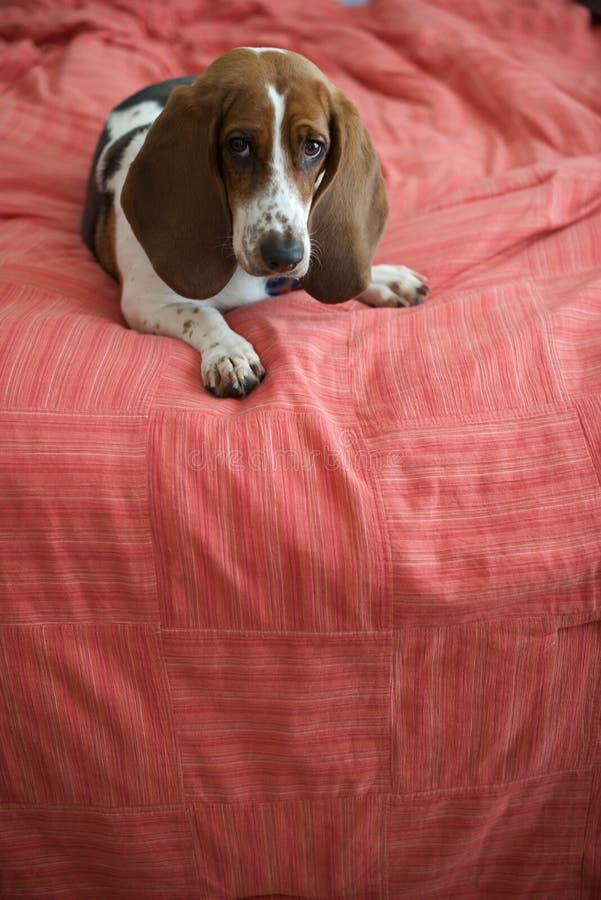 Basset Hound op Bed stock foto