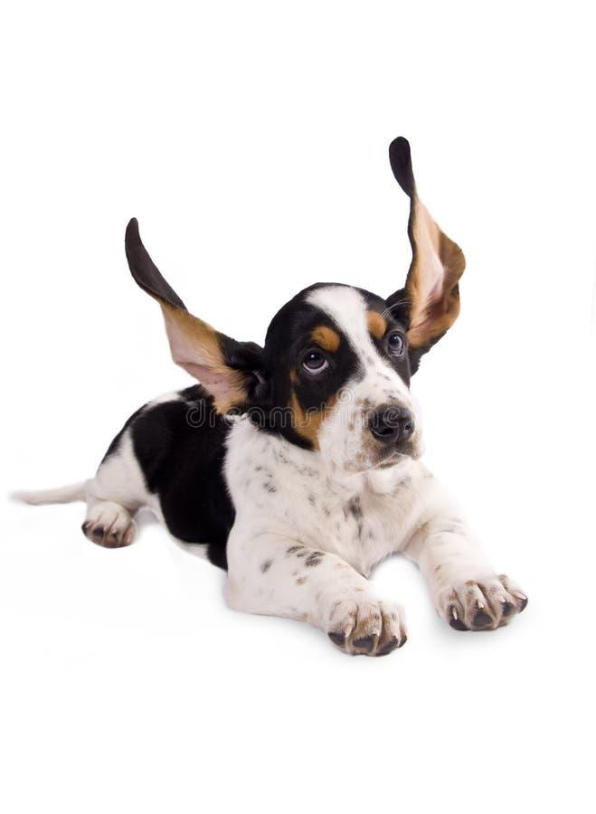 Basset hound puppy stock images