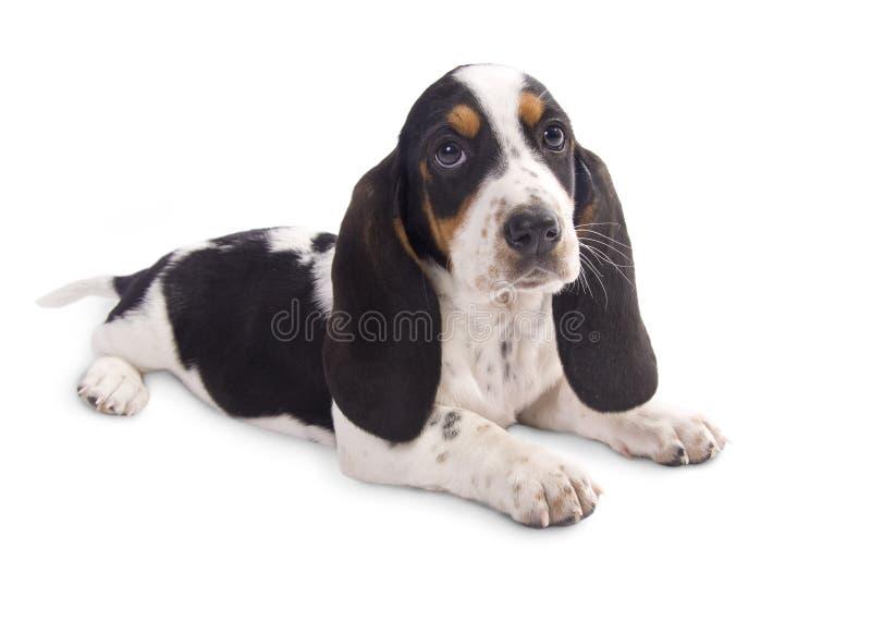 Basset hound puppy royalty free stock image