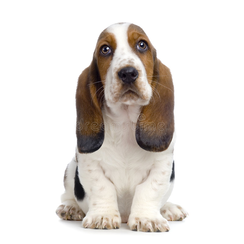 Basset Hound Puppy. In front of white background