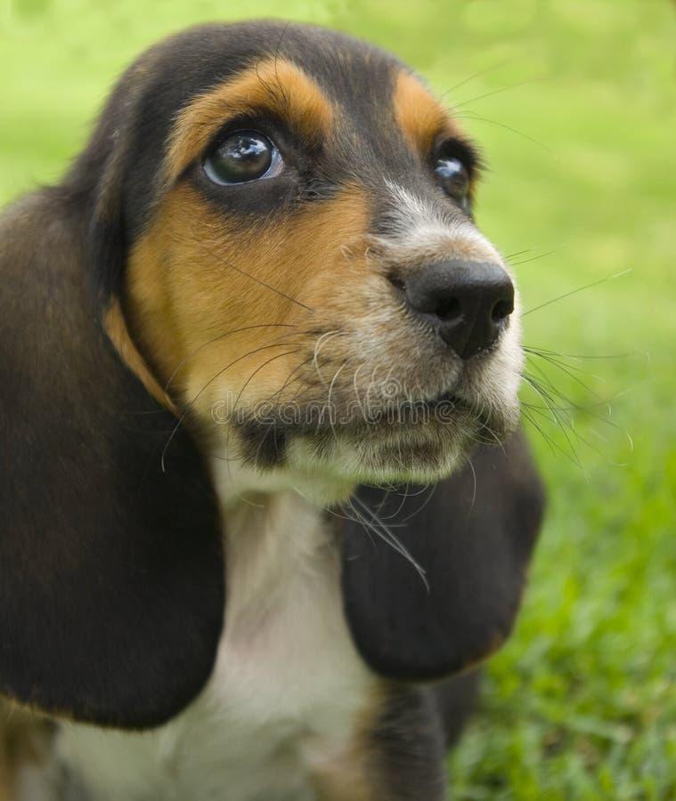 Basset hound puppy stock photos