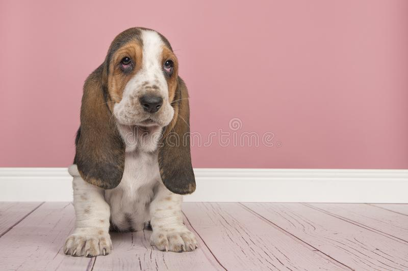 Basset Hound Puppy Sitting In A Pink Living Room Setting Stock Image ...