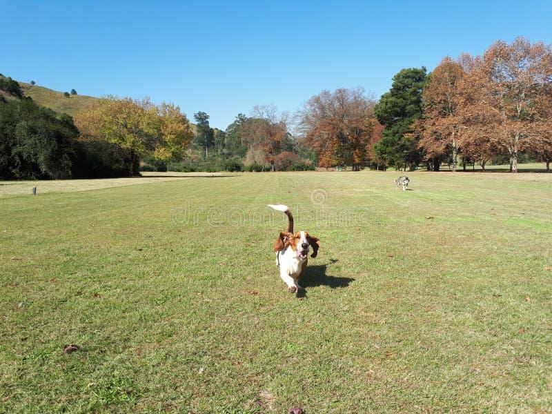 Basset Hound running. Towards the camera royalty free stock photos