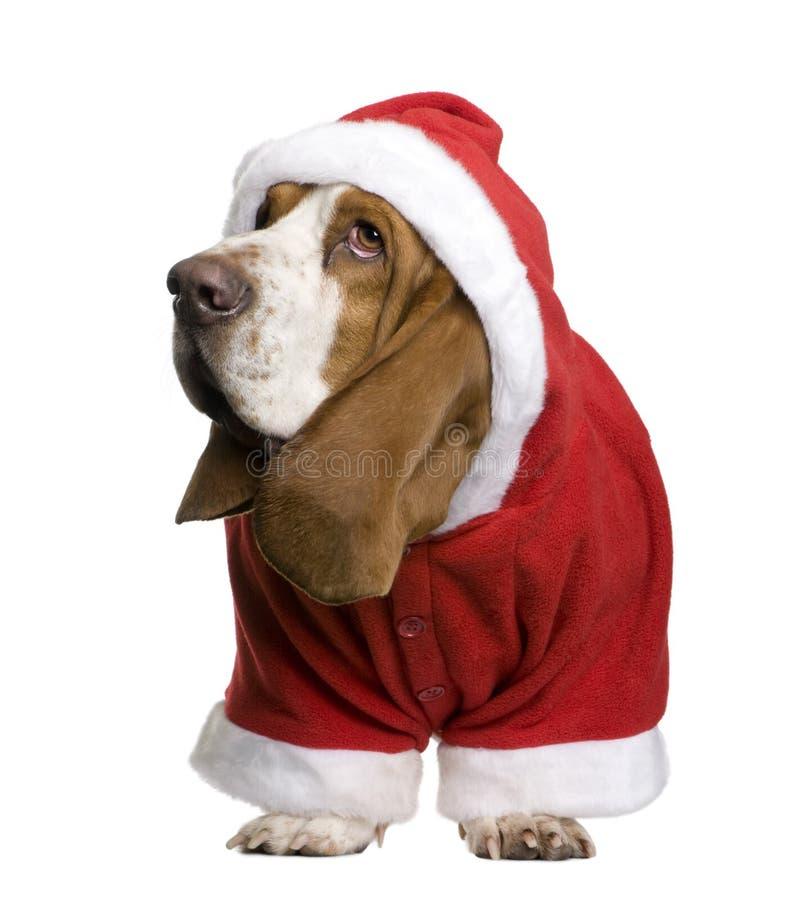 Basset hound in Santa coat, 2 years old stock photos