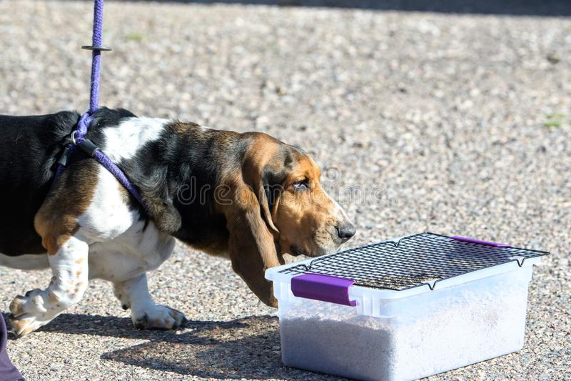Basset hound smelling for scent during a game royalty free stock photos