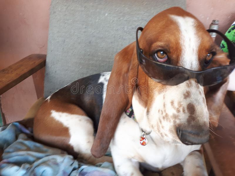 Cool Basset Hound. Basset Hound with sunglasses on stock photo