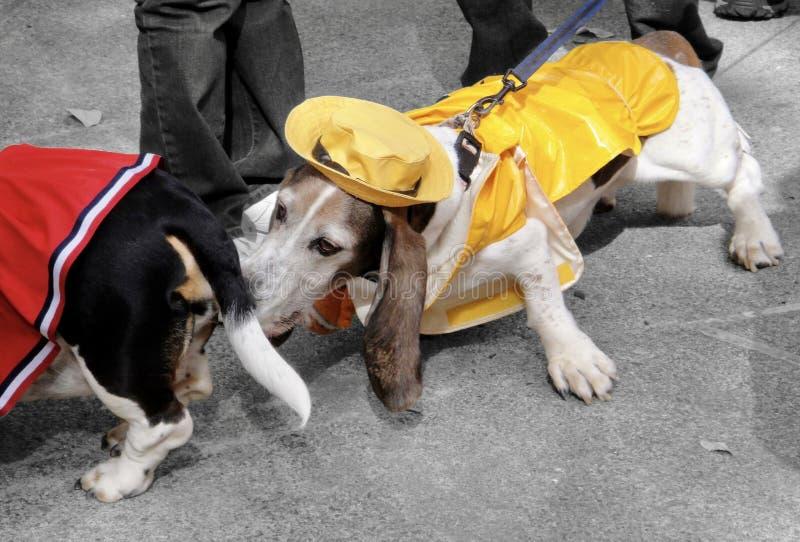 Basset Hound vestido como marinero Sniffing Butt en Halloween imagen de archivo libre de regalías