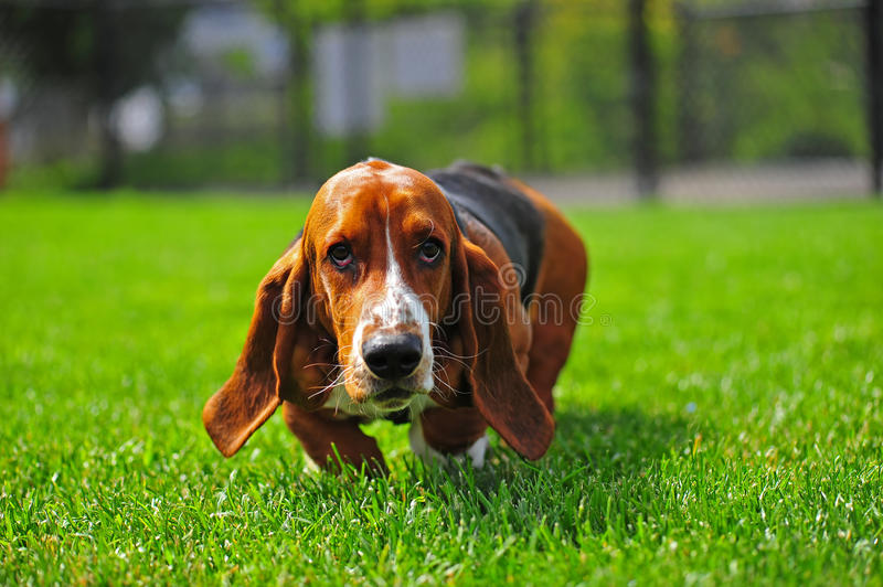 Basset Hound whiskers. An adorable Basset Hound runs to the camera that is at his level. Whiskers are going in every direction royalty free stock photo
