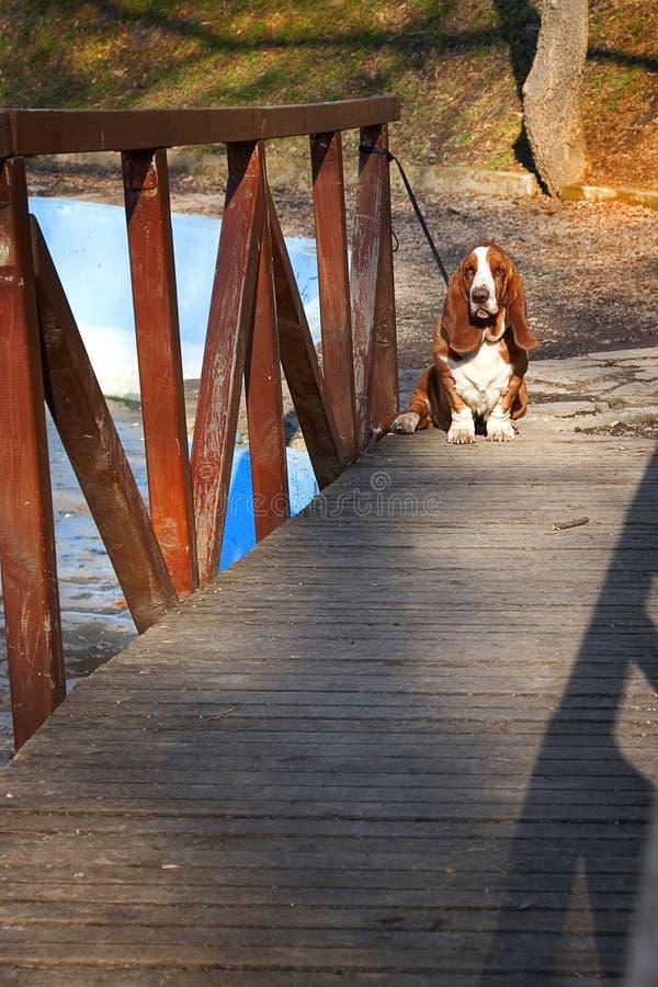 Basset Hound On Wooden Bridge Stock Photo