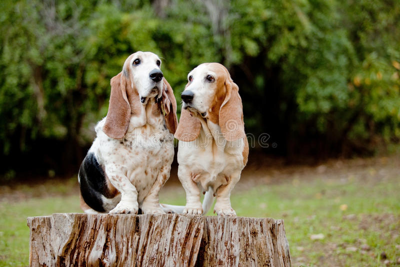 Basset hounds. Pair of basset hounds sitting on a log royalty free stock photos