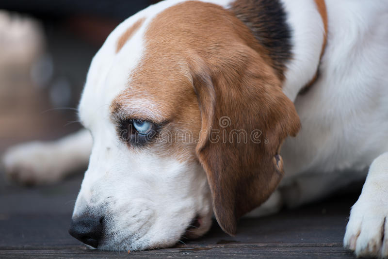 Basset with nose on floor. Side look of Basset dog with beautiful blue eyes, with nose on the floor, with focus on eyes royalty free stock photo