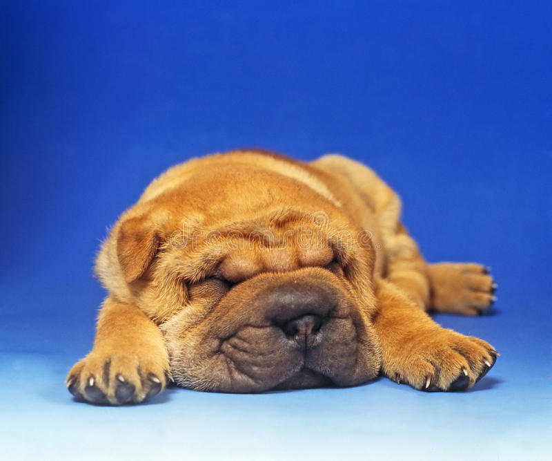 Basset puppy stock foto's