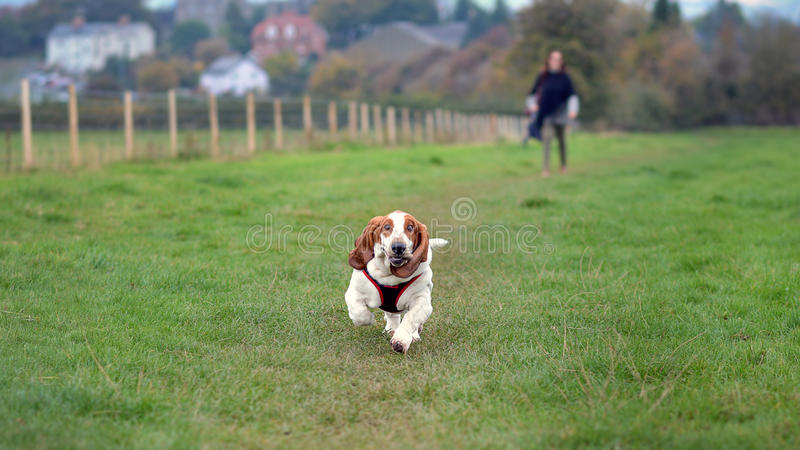 Bassethound stock photography