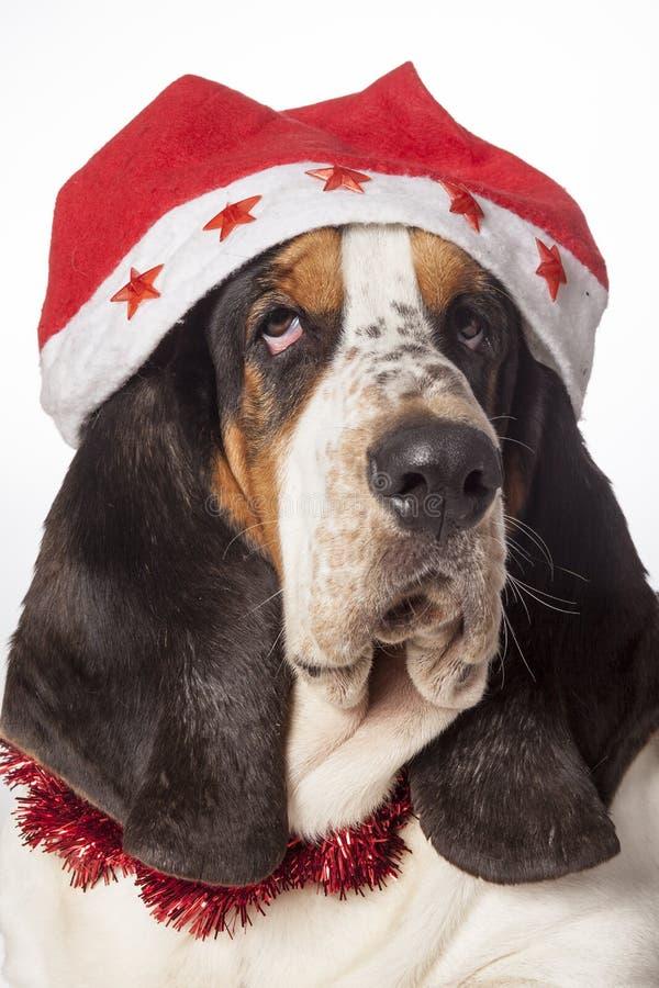Bassethound se vistió para la Navidad fotos de archivo libres de regalías