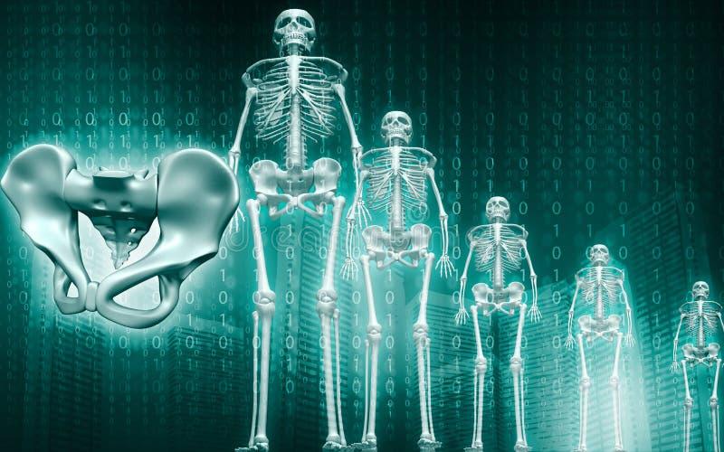 Bassin squelettique et humain illustration stock