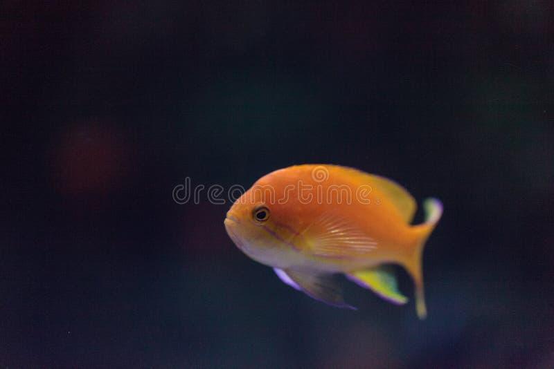 Bassletvissen Pseudanthias van de Lyretailfee stock afbeelding