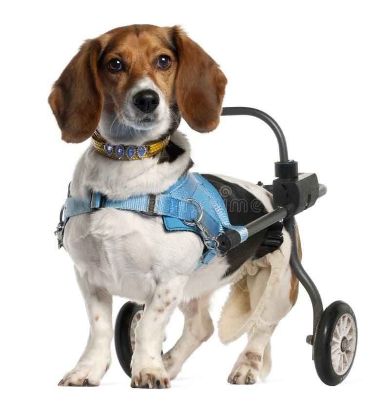 Bassotto andicappato paralizzato Artésien Normand fotografia stock libera da diritti