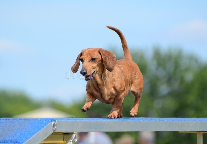 Bassotto tedesco ad una prova di agilità del cane immagine stock