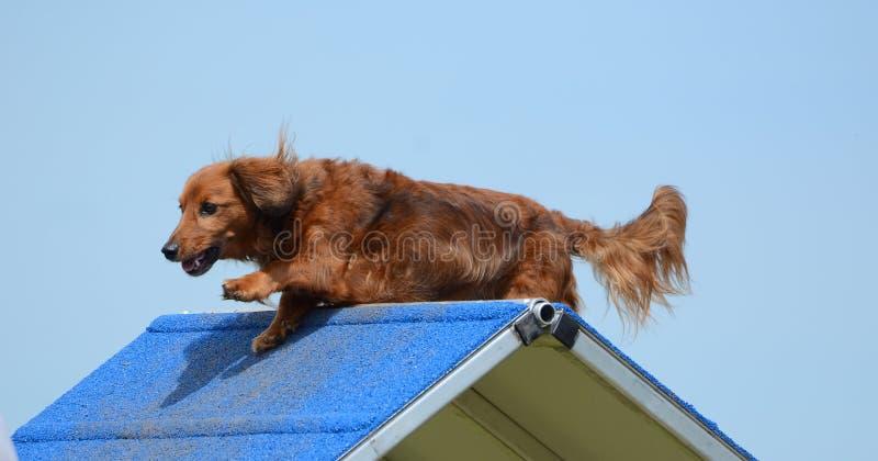 Bassotto tedesco ad una prova di agilità del cane immagine stock libera da diritti