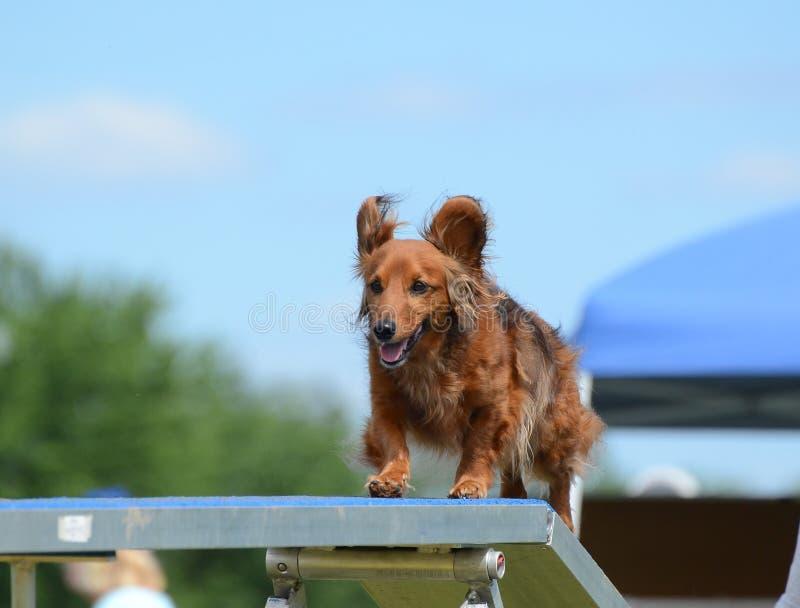 Bassotto tedesco ad una prova di agilità del cane fotografie stock