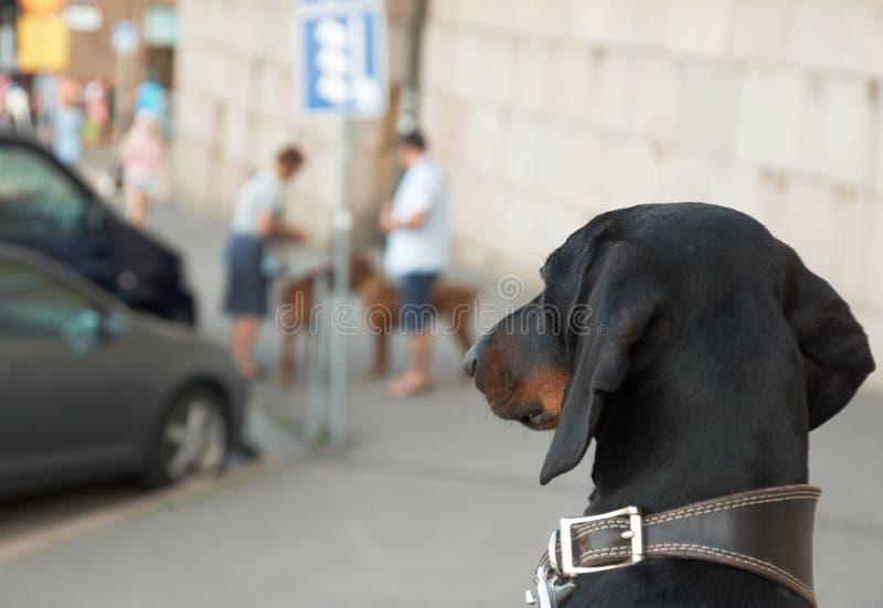 Bassotto tedesco che esamina altri cani fotografia stock