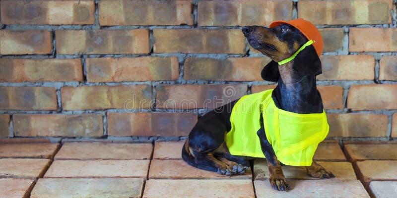 Bassotto tedesco del costruttore del cane in un casco arancio della costruzione ai precedenti del muro di mattoni billboard fotografia stock
