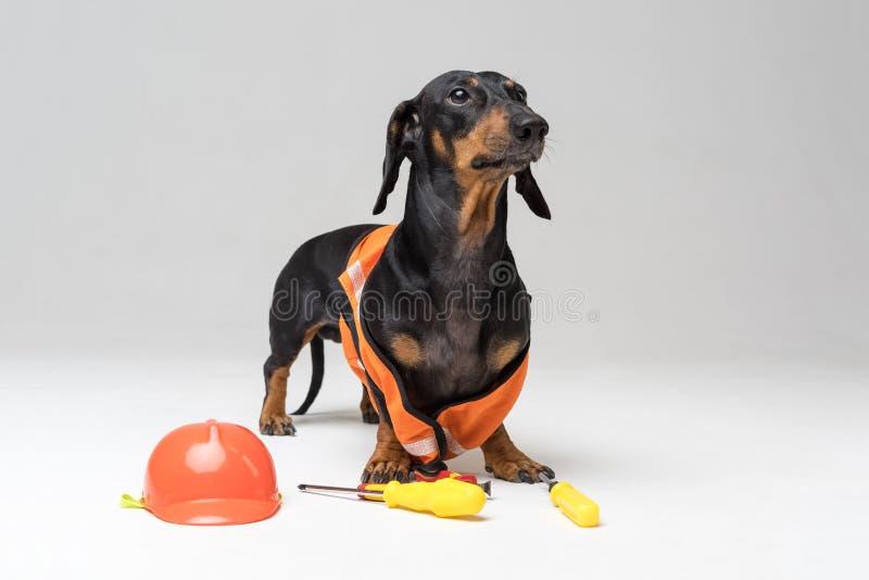 Bassotto tedesco del costruttore del cane in un casco arancio della costruzione con i vari strumenti cacciavite, pinze della cost fotografia stock