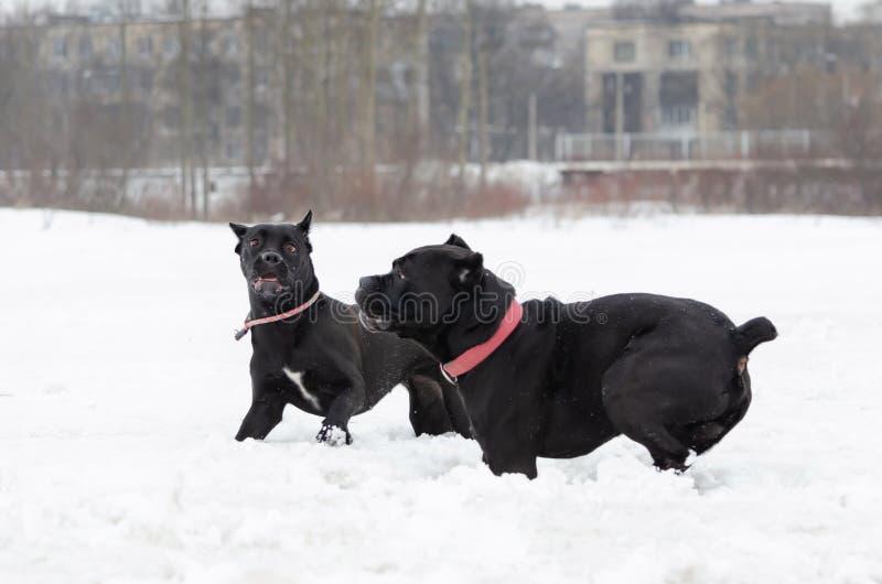Bastão Corso Jogo dos cães um com o otro foto de stock royalty free
