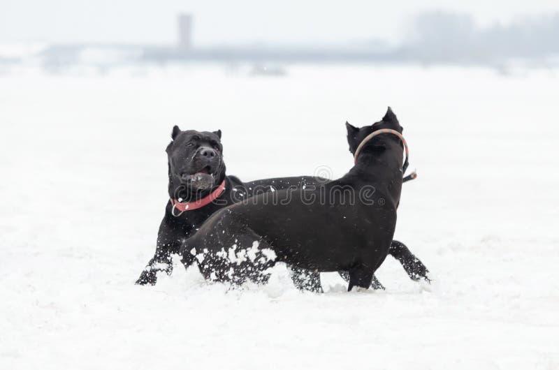 Bastão Corso Jogo dos cães um com o otro fotos de stock royalty free