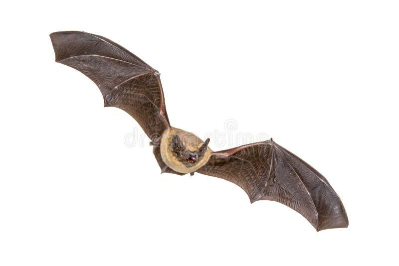 Bastão de voo do Pipistrelle isolado no fundo branco fotos de stock