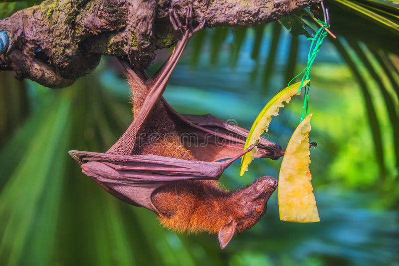 Bastão Malayan que pendura em um ramo de árvore foto de stock