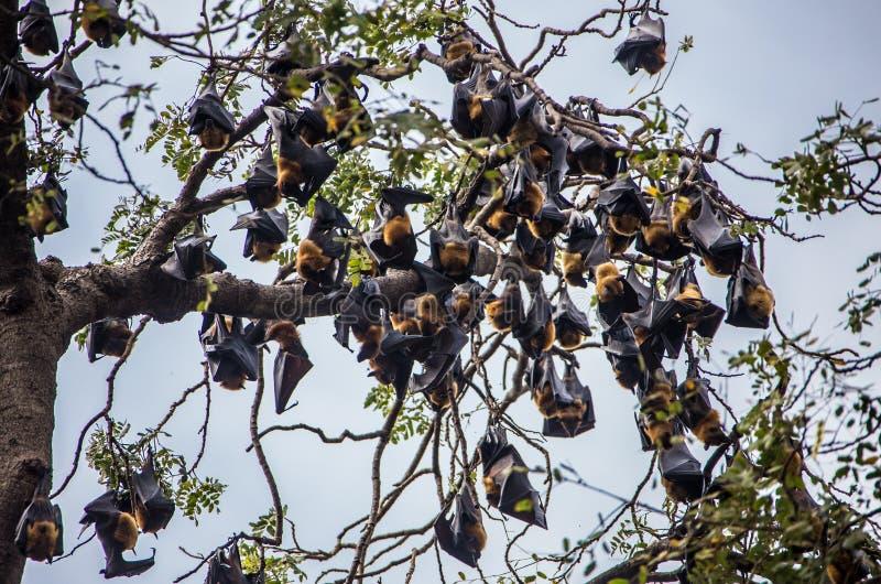 Bastão que pendura em um ramo de árvore Malayan imagens de stock