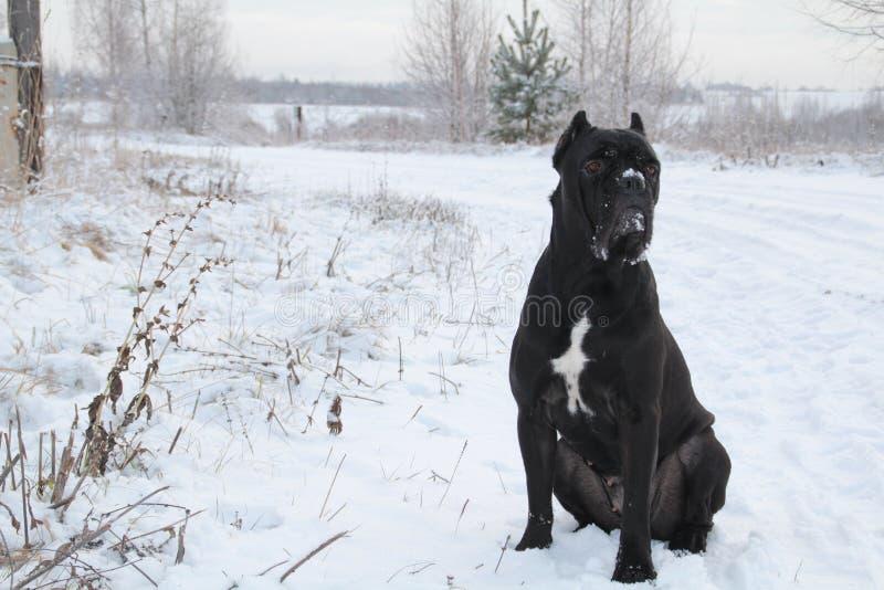 Bastón Corso Italiano Un perro negro grande fotografía de archivo libre de regalías