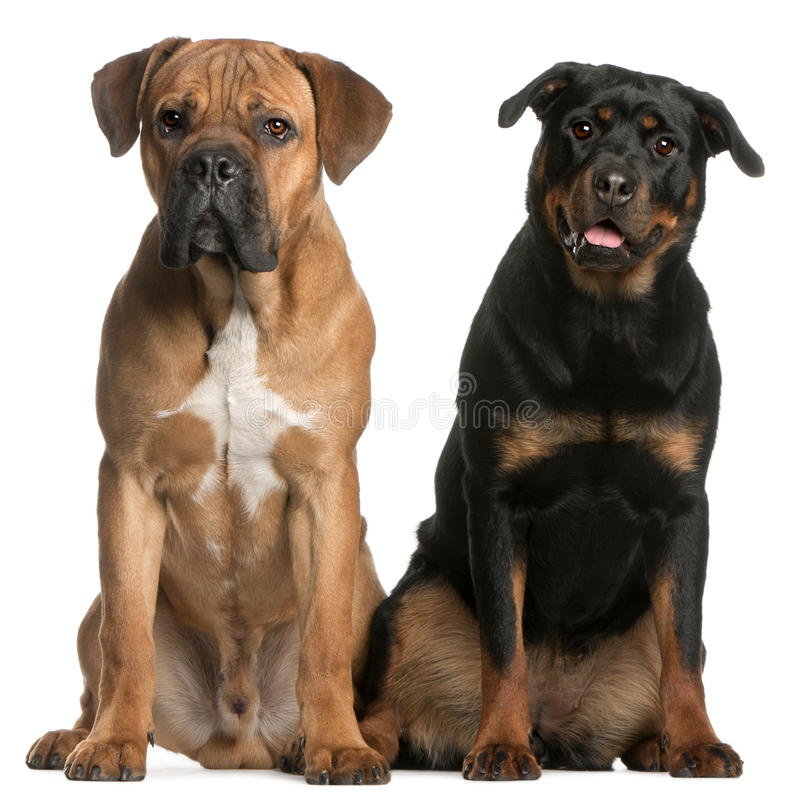 Bastón Corso y un Rottweiler imagen de archivo libre de regalías