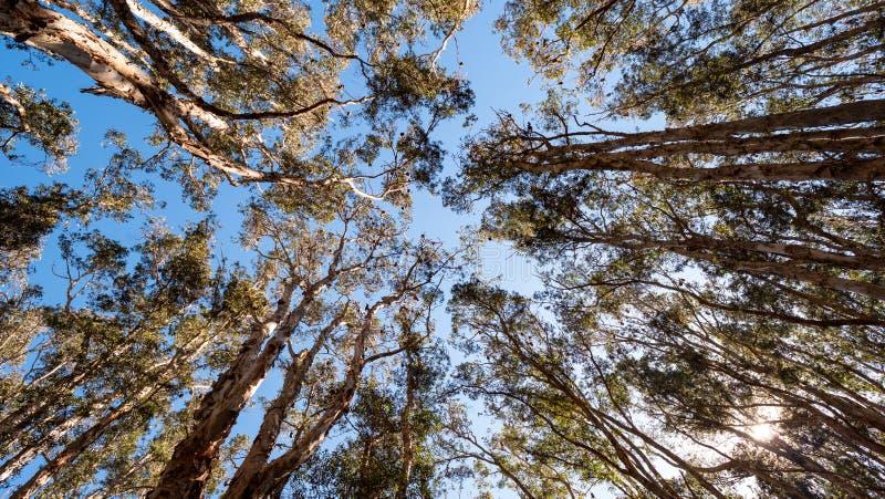 Bastões em partes superiores da árvore dos eucalyptys no parque centenário em Sydney imagem de stock
