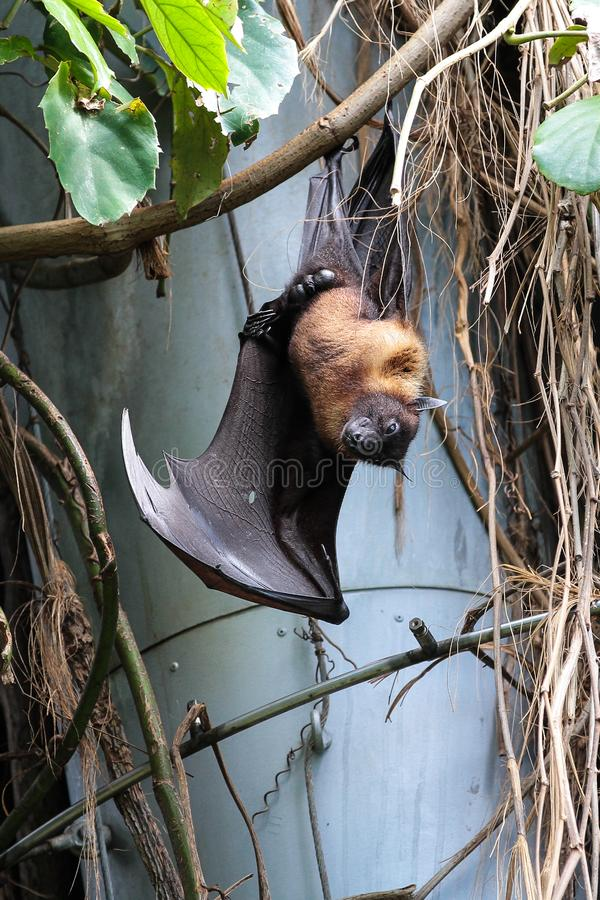 Bast?o grande que pendura o giganteus de cabe?a para baixo, indiano do Pteropus da raposa de voo fotos de stock royalty free