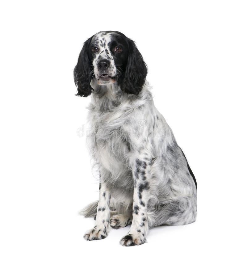 Bastaard hond voor witte achtergrond royalty-vrije stock afbeelding