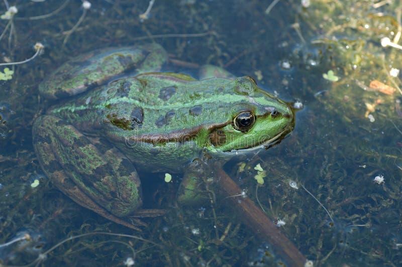 Bastaard Kikker  Εδώδιμος βάτραχος  Rana kl esculenta στοκ εικόνα με δικαίωμα ελεύθερης χρήσης