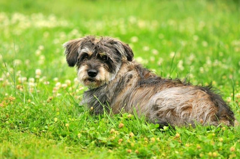 Bastaarde hond stock foto