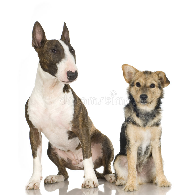 and a bull terrier royalty free stock photography