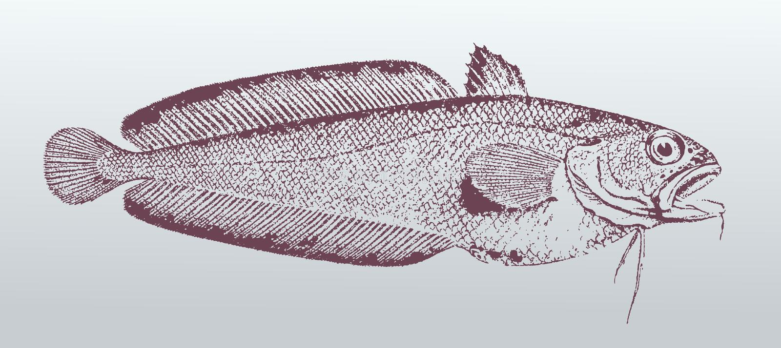 Red cod or northern codling pseudophycis breviuscula, a fish from australia in profile view. Illustration after a vintage lithography from the 19th century vector illustration