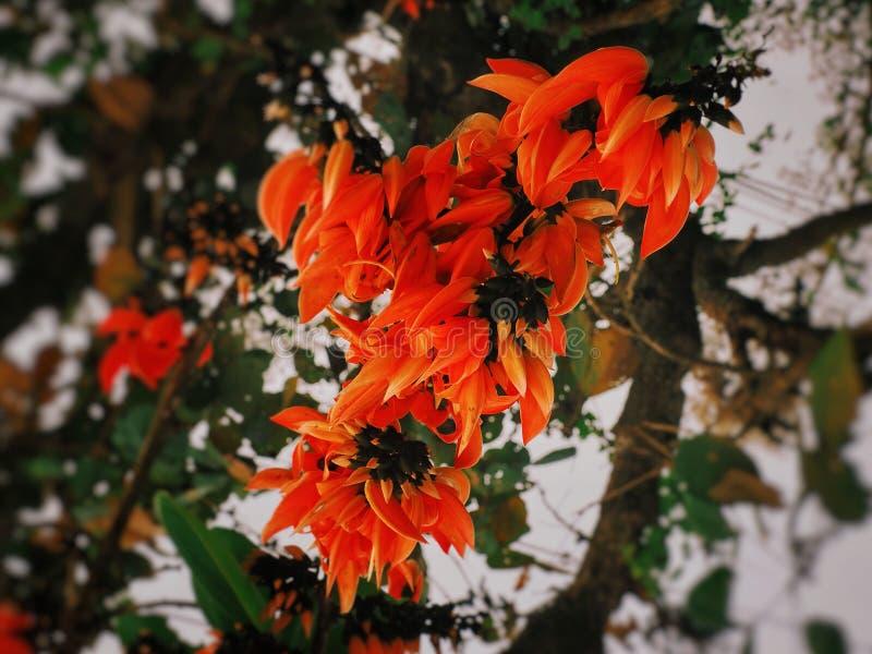 Bastard teak flowers blooming royalty free stock images