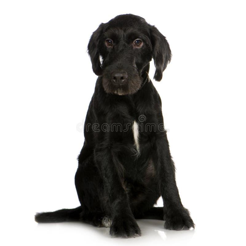 Download Bastardo (2 anni) fotografia stock. Immagine di cane, nazionale - 3885828